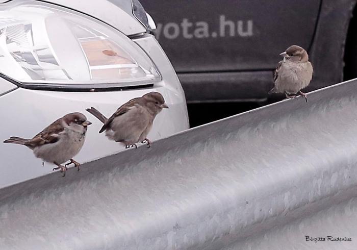 birds_20150108_pilfinkar