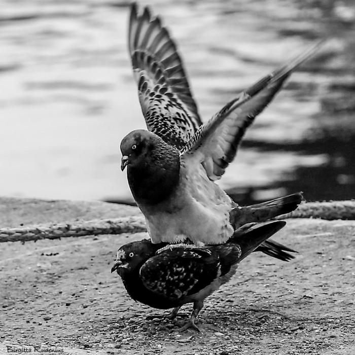 birds_20150322_2doves