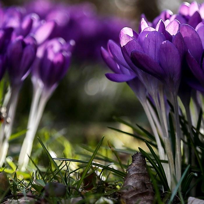 blom_20150313_krokus