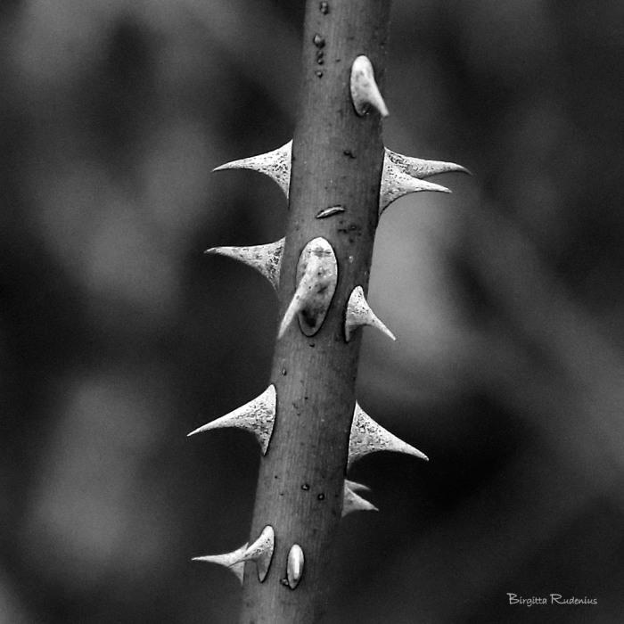 bw_20150316_thorns