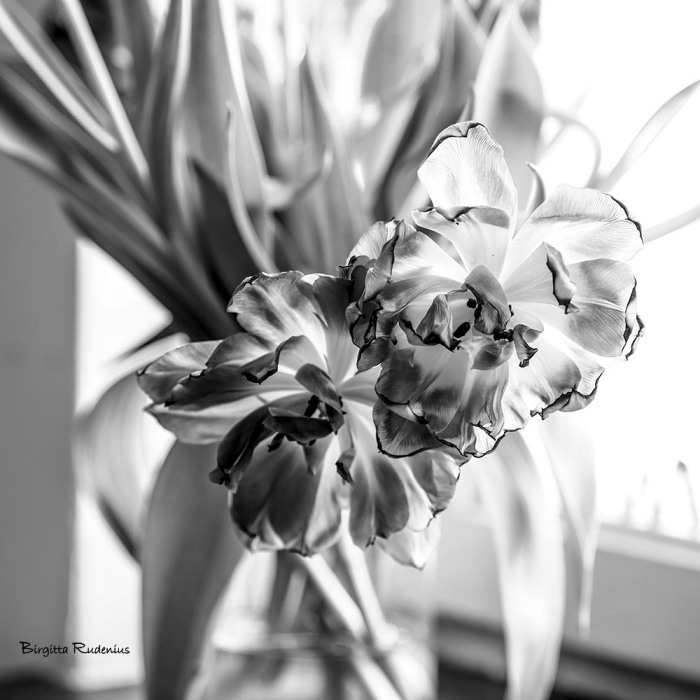 bw_20150319_tulips