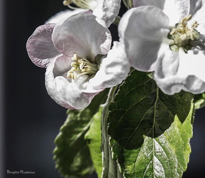blom_20150421_apple