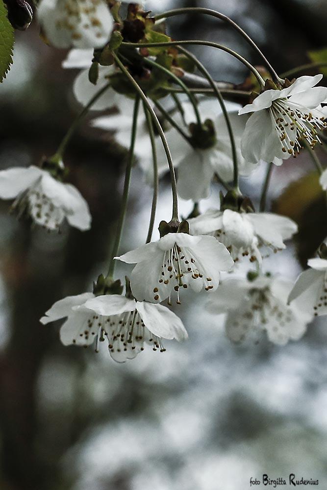 blom_20150505_cherry