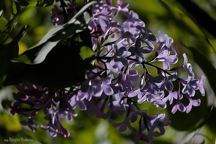 blom_20150515_syren