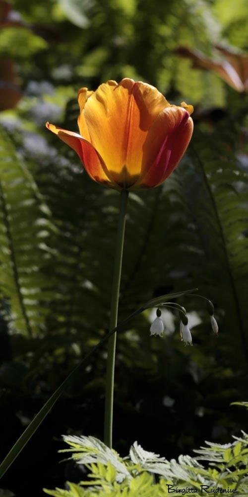 blom_20150515_tulip