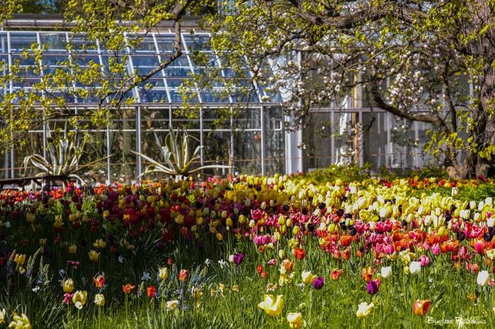 botaniska_20150515_tulips