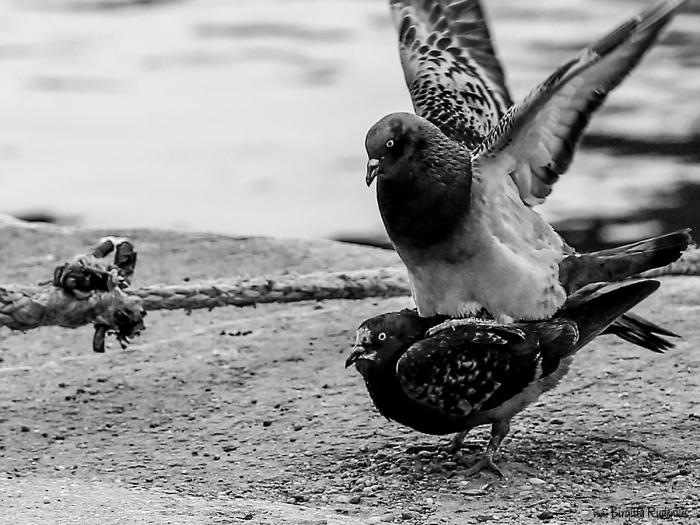 bw_20150322_doves3