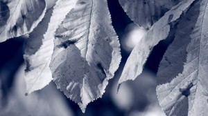 Blue Leaves