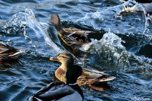 birds_20160105_diving