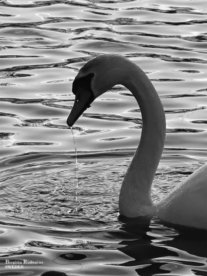 Swan Photo © Birgitta Rudenius